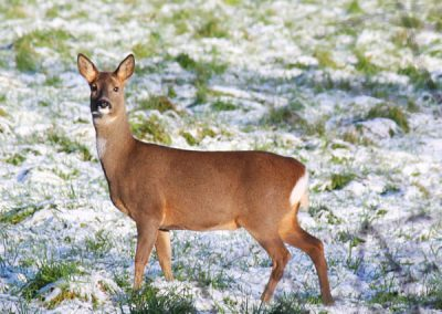 A single deer in the snow looking at the camera